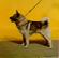 Valpar Till Salu Dogs For Sale Dogs For Sale Near Breeders Golden Retriever Puppies Valpar